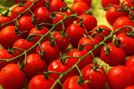 A few trusses of red wet cherry tomatoes on a green gauze background. Archivio Fotografico