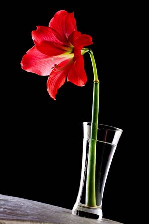 hippeastrum flower: Red Hippeastrum flower in a vase on a table against black background.