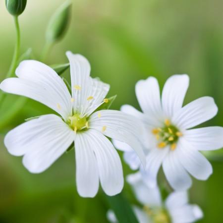 chickweed: white flowers (Stellaria media)
