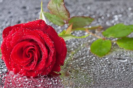 beautiful close-up rose with water drops photo