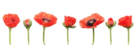 montage: Red Poppies in a row. Isolated on white Stock Photo