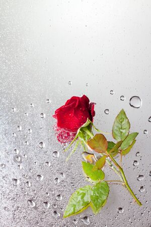 beautiful close-up rose with water drops