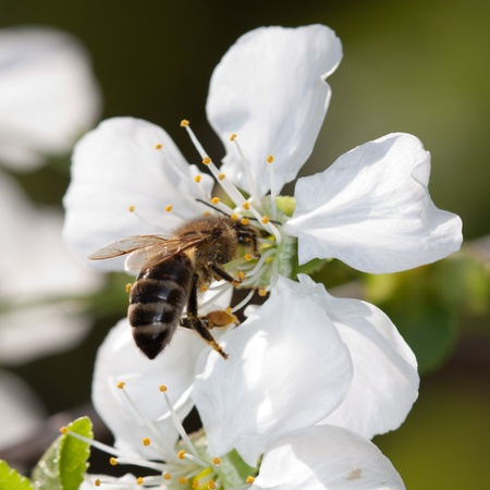 bee and white flowers photo