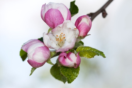 apple blossom close-up. White flowers photo