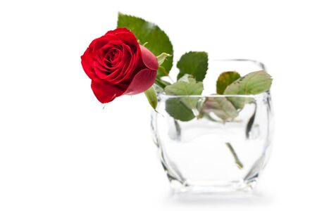 beautiful close-up red rose over white background photo