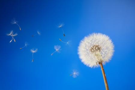 dandelion on a blue background photo