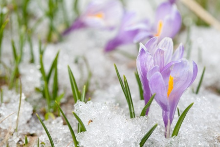 frost covered: crocus flowers Stock Photo