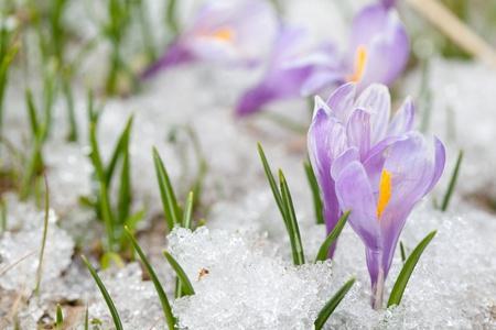 Krokus Blumen Standard-Bild