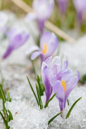 awaking: crocus flowers Stock Photo