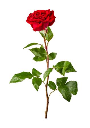 rosas rojas: rosa roja sobre fondo blanco Foto de archivo