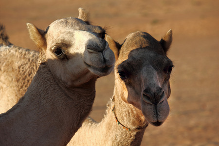 dromedaries: Camels in Love  A Kiss in the desert between two camels, in the Wahiba sands desert in Oman