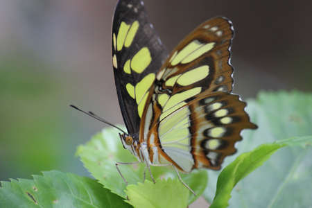 cuba butterfly: Colorful butterfly posed on leaves. Image taken in Vinales, Cuba Stock Photo