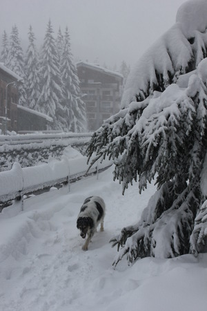 tree branches: Madesimo, Italy: tree branches covered with snowand a dog walking  in a foggy winter day