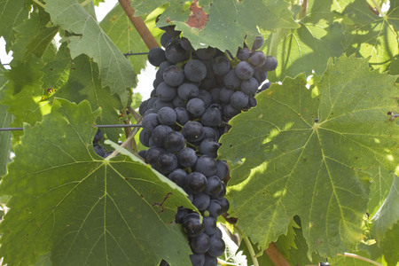 montalcino: Montalcino, Italy: Grapes orchard in Tuscany, in the famous land of the Brunello.