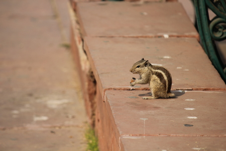 Delhi, India: Indian squirrel with no tail eating an acorn photo