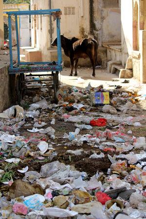 PUSHKAR, INDIA: Wild cow through rubbish in Pushkar, Rajasthan State of India