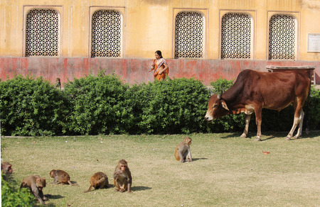 india cow: JAIPUR, INDIA - NOV 30: Monkeys and a cow in the Monkey Temple in Jaipur, India, with a woman passing behind