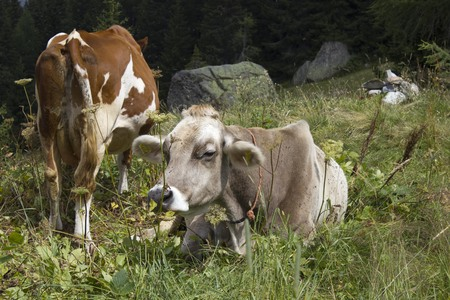 ruminate: MADESIMO, ITALY - AUG 18 2014: A brown and a white cow in the high grass in Motta, near Madesimo Editorial
