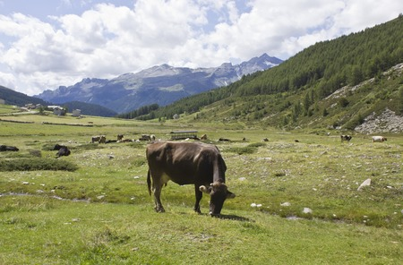ruminate: MADESIMO, ITALY - AUGUST 21 2014: Brown cow ruminate in the grass in Madesimo, Italy, in the summer season