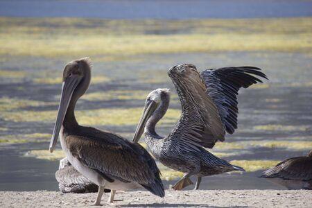 malibu: MALIBU, USA - AUG 16 2013: Two Pelicans on Malibu lagoon