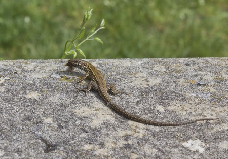 viviparous lizard: Green Lizard on the stone in a park in Tuscany, Italy, eating something. Close up. Editorial