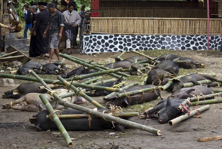 toraja: Porks  tied to bamboo canes before their being sacrificed in a funeral ceremony in Tana Toraja, Indonesia, with people around Editorial