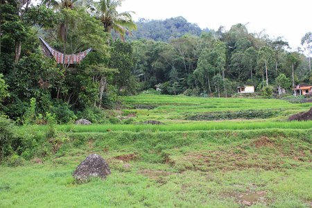 toraja: Rural field in Indonesia, with traditional tongkonan house in the background