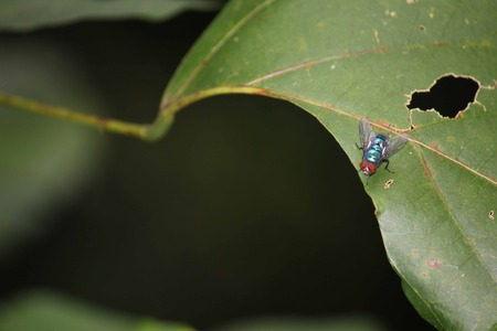 flaw: Blue housefly posed on a flaw leaf in Indonesia. Stock Photo