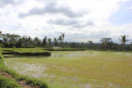dull: Rice field in Indonesia, In Bali Island, in a dull day Stock Photo