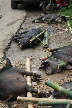 sacrificed: Porks  tied to bamboo canes before their being sacrificed in a funeral ceremony in Tana Toraja, Indonesia