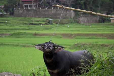 sacrificed: Buffalo tied with a rope in a field, waiting to be sacrificed in a funeral ceremony in Tana Toraja