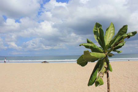 kuta: Kuta Beach in Bali, Indonesia, overview with a plant in the foreground