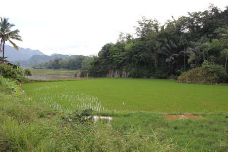 sulawesi: Paddy Field in Indonesia, the South Sulawesi region, with mountains