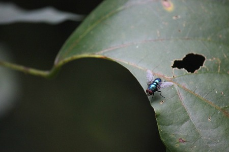 housefly: Blue housefly posed on a flaw leaf in Indonesia. Stock Photo