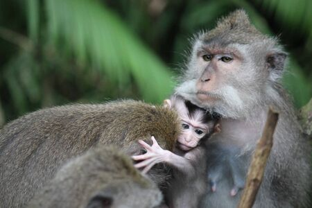 ubud: Baby monkey with its mother in the Monkey Forest in Ubud, Indonesia