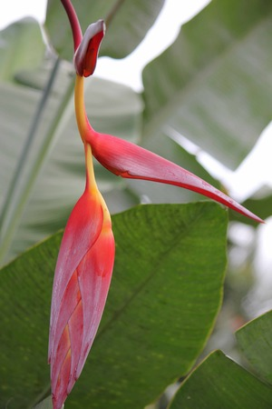 heliconiaceae: Close up of red and yellow Heliconia Pendula, Hanging Crab Claw Flower, seen in Indonesia, Sulawesi Stock Photo