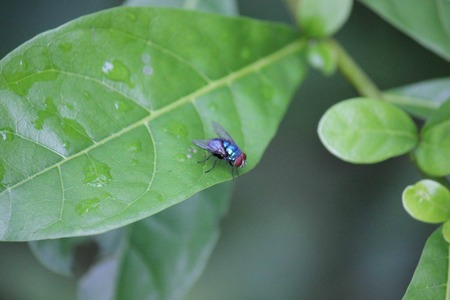 housefly: Blue housefly posed on a leaf in Indonesia, after rain. Stock Photo