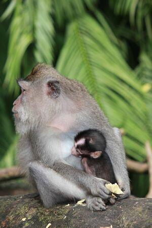 b�b� singe: Singe b�b� avec sa m�re dans la for�t des singes � Ubud, Indon�sie