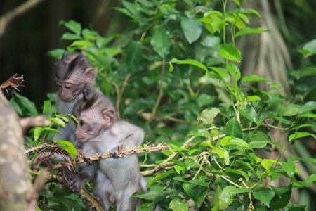 primates: BALI, INDONESIA - JULY 7 2012: Two young primates climb up the tree branches in the Ubud Forest in Indonesia