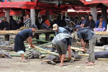 sacrificio: Tana Toraja, Indonesia - 03 de julio 2012: pueblo indonesio recogiendo cerdos para su sacrificio durante una ceremonia f�nebre