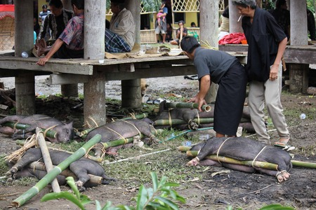 sacrificed: TANA TORAJA, JULY 3 2012: Porks  tied to bamboo canes before their being sacrificed in a funeral ceremony in Tana Toraja, Indonesia, with people around Editorial