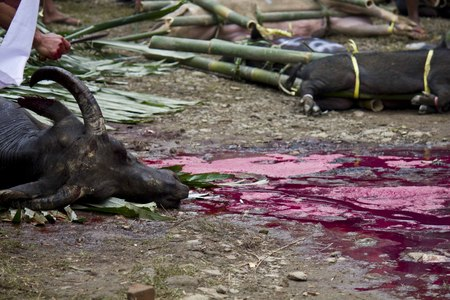 TANA TORAJA, INDONESIA - JULY 3 2012: Face close up of a Killed buffalo in Indonesia, sacrificed during a funeral ceremony Editorial