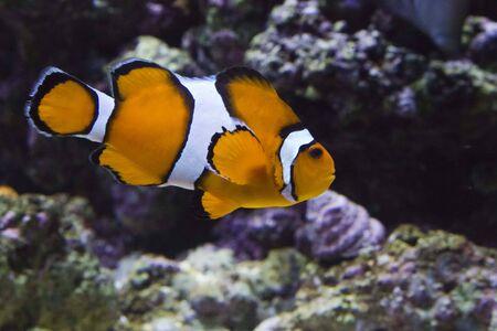 ocellaris clownfish: Clownfish swimming in Lisbon Oceanarium