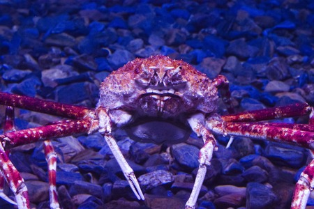 oceanario: Huge crab in Lisbon Oceanario, Portugal