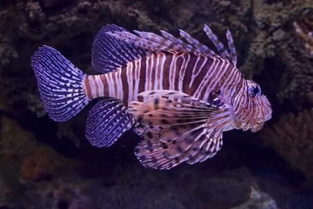 zebra lionfish: Scorpion Fish in Lisbon Aquarium