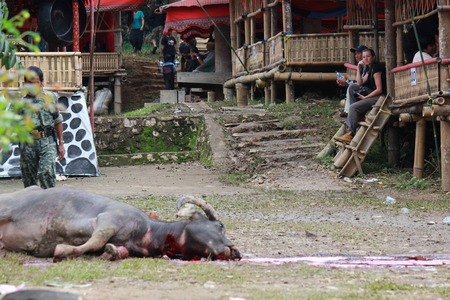 TANA TORAJA, INDONESIA - JULY 3 2012: Dead Buffalo lay on the floor, after its sacrifice during a funeral ceremony in Indonesia Editorial