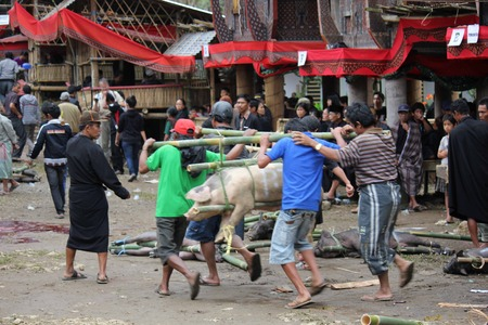 toraja: TANA TORAJA, INDONESIA - JULY 3 2012: Indonesian people carrying tied porks for sacrifice during a funeral ceremony
