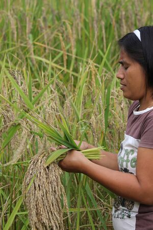 manually: SULAWESI, INDONESIA - JULY 3 2012: Farmer manually pick up rice in a field in Indonesia