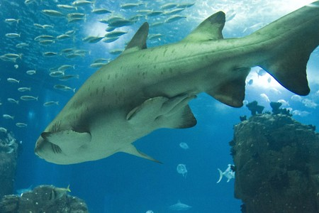 oceanarium: Shark swimming in Lisbon Aquarium, surrounded by other little fish Stock Photo