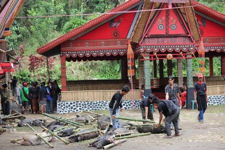 sacrificio: Tana Toraja, Indonesia - 03 de julio 2012: Grupo de Torajan alrededor de los cerdos utilizados como sacrificio para una ceremonia f�nebre en la regi�n de Sulawesi de Indonesia, con la arquitectura t�pica tongkonan en el fondo Editorial
